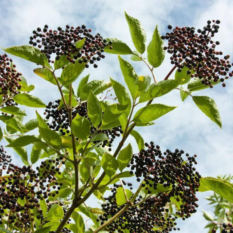 Elderberries.jpg
