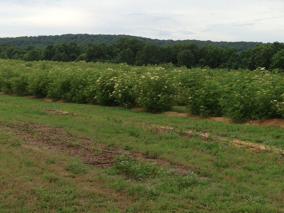 Norms Elderberries in Bloom.jpg