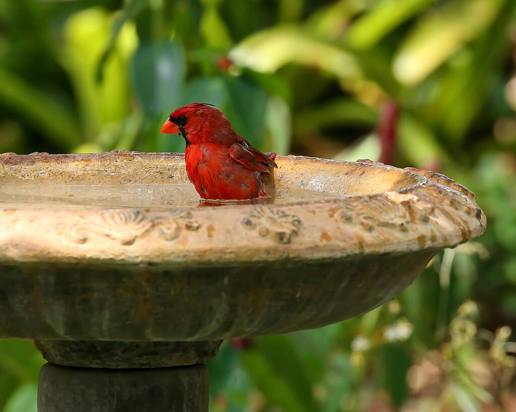 Cardinal in bird bath