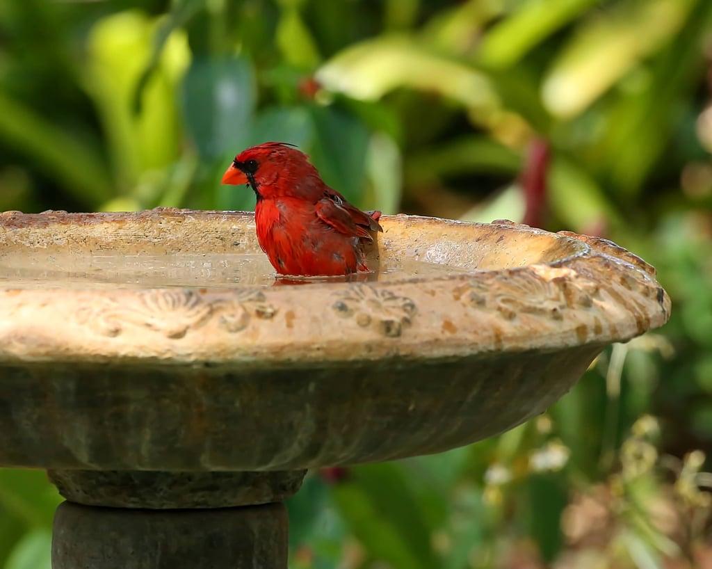 Cardinal in bird bath