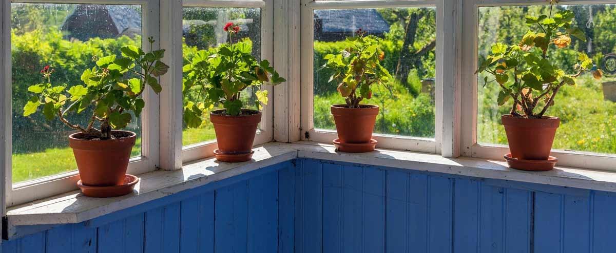Geraniums on a window sill