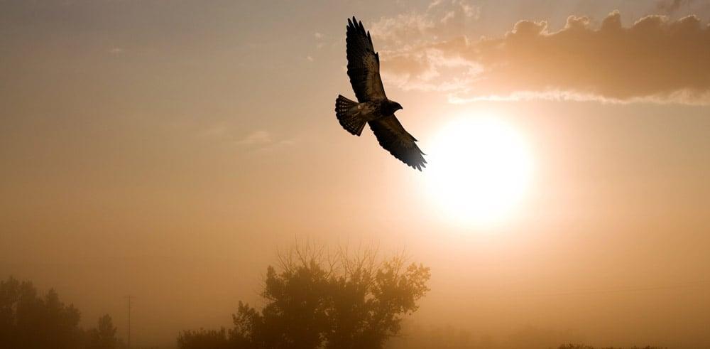 Hawk flying in air at dusk