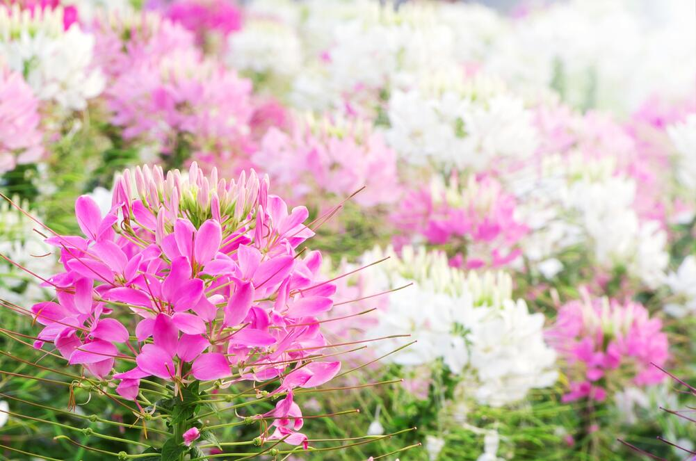 Heirloom Cleome Flower