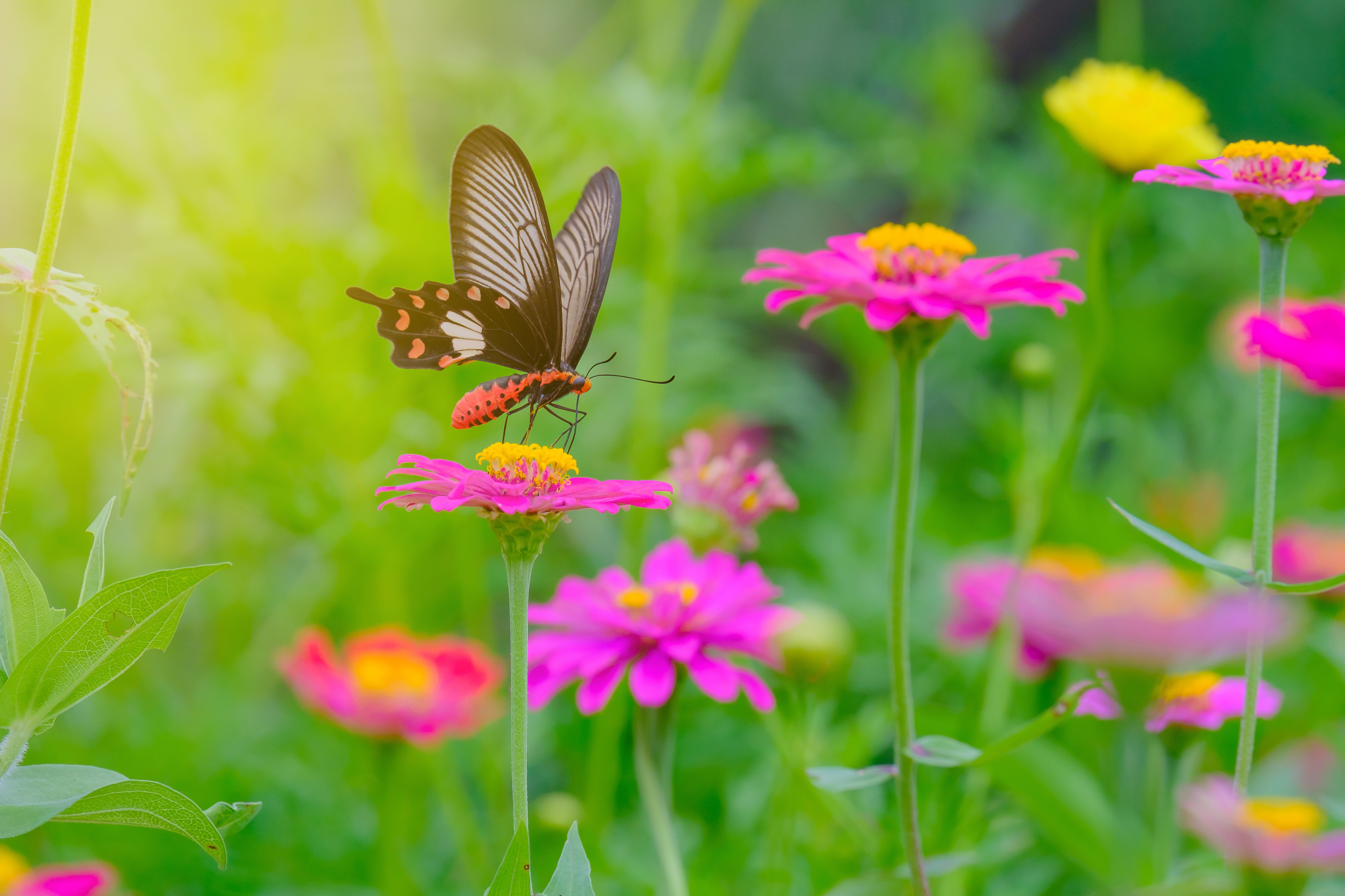 Heirloom Cosmos with Butterfly