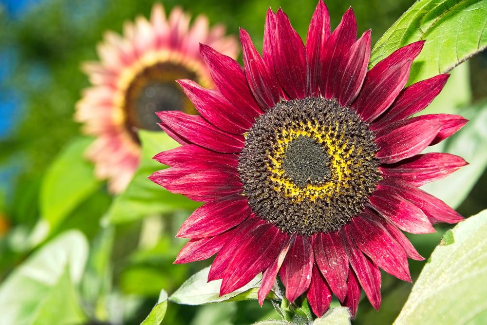 Heirloom Red Sunflower