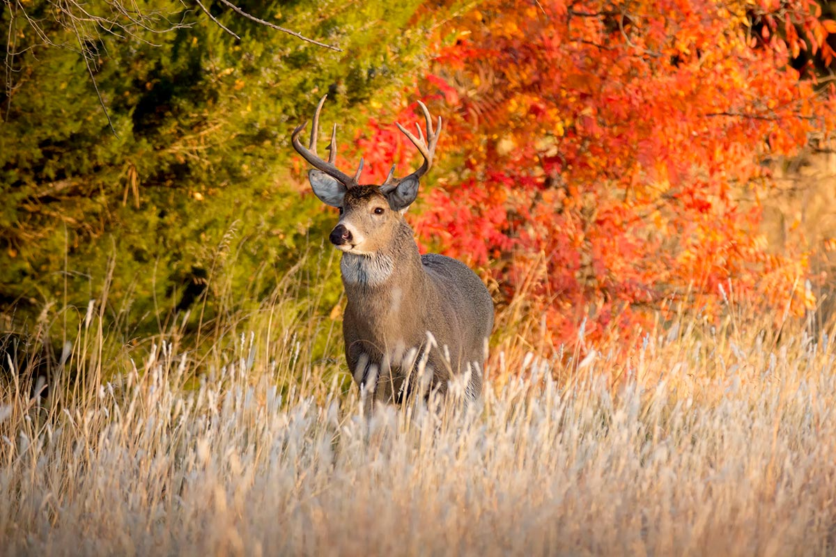 Whitetailed Deer in a field
