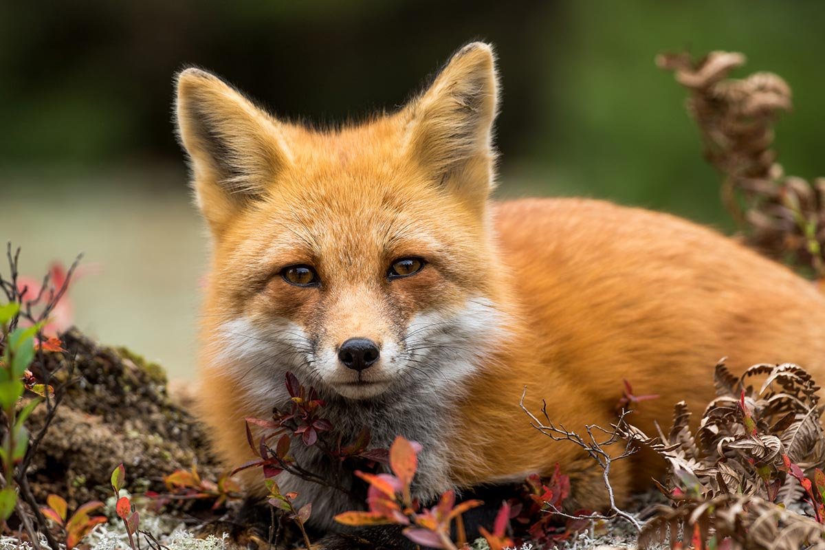 Red Fox laying on a log