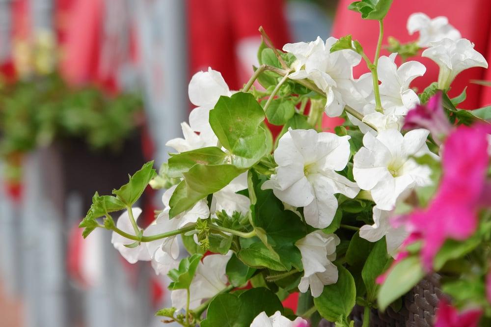 heirloom petunia