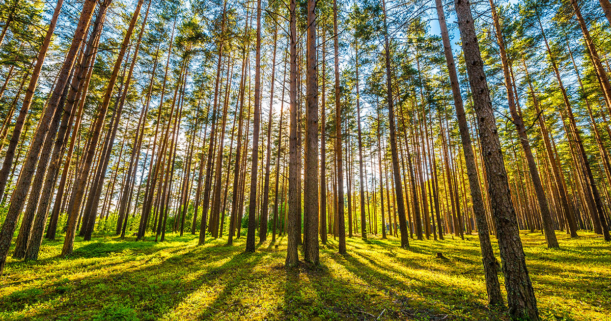 Pine Trees for Timber