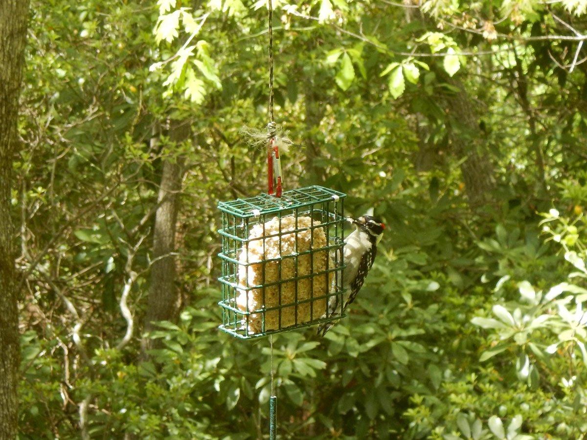 Downy woodpecker feeding from a bird feeder