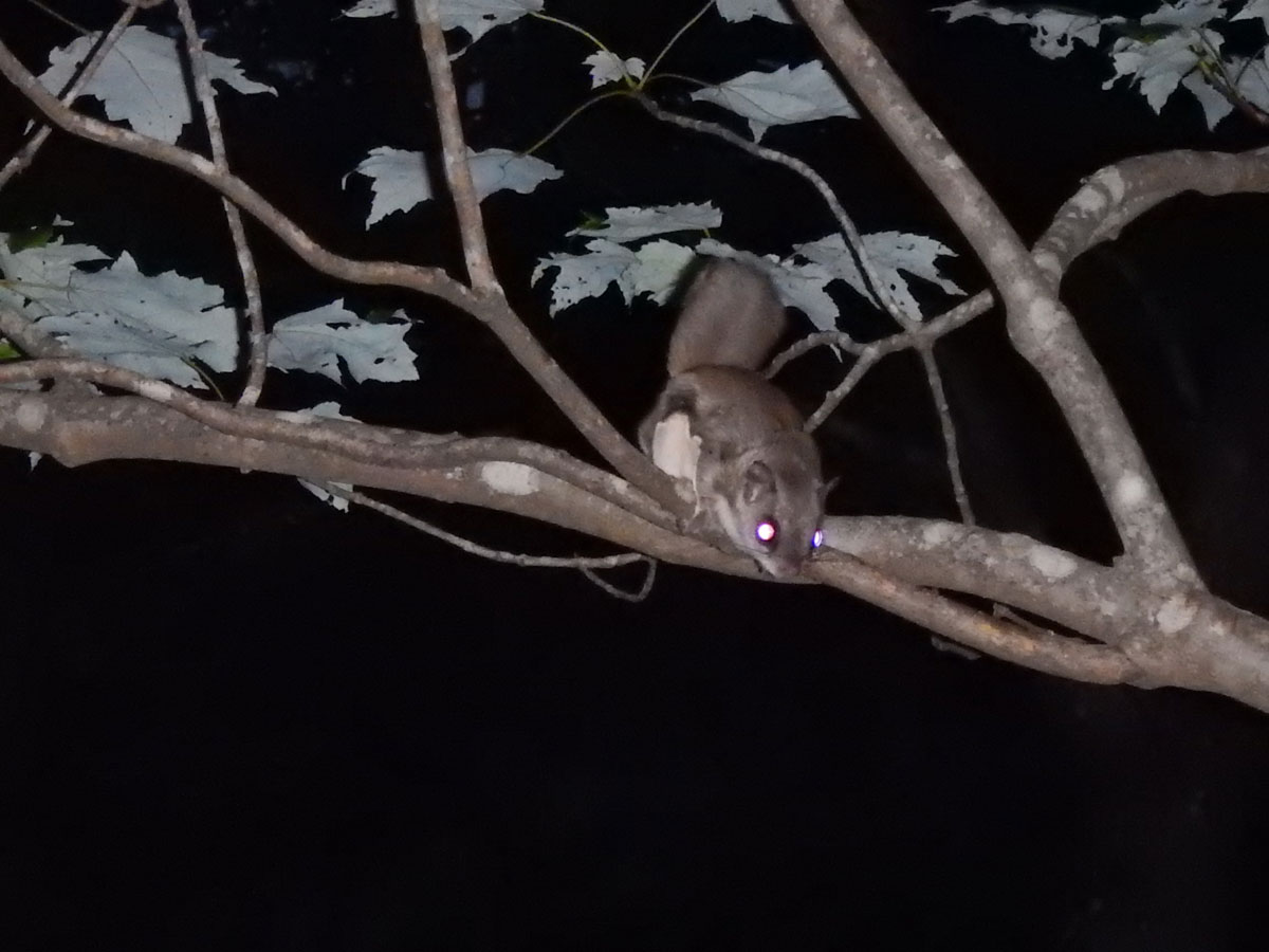 flying squirrel at night on a tree limb