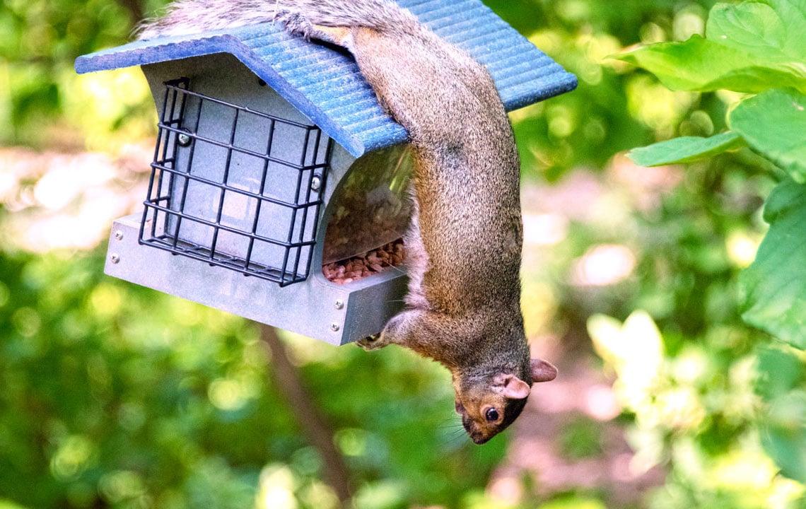 squirrel hanging upside down across bird feeder