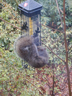 squirrel attempting to eat from a bird feeder