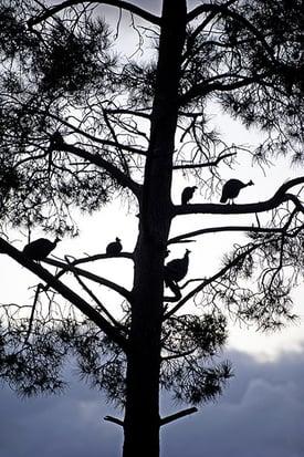 Guinea Fowl in Tree-min