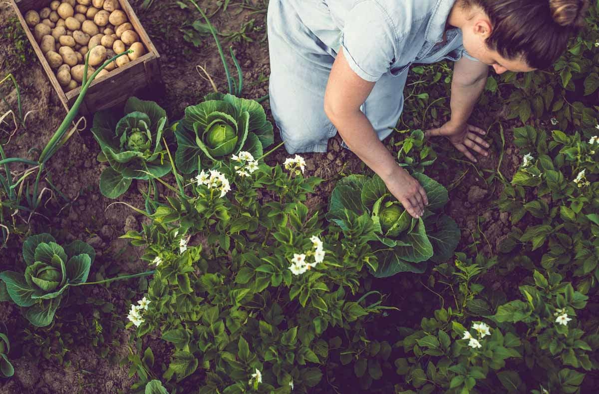 Bird's eye view of woman gardening cabbage