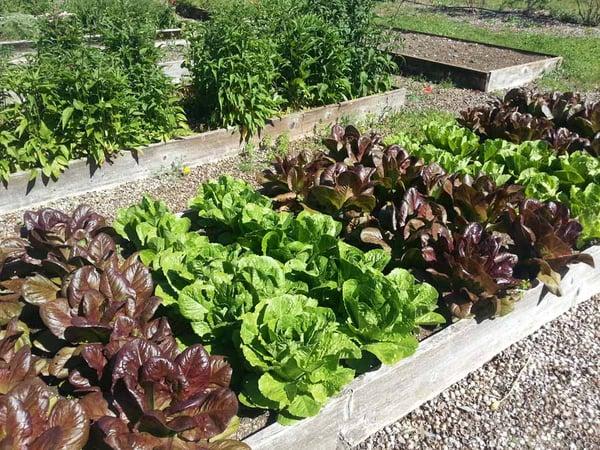 Row of different varieties of lettuce in a garden