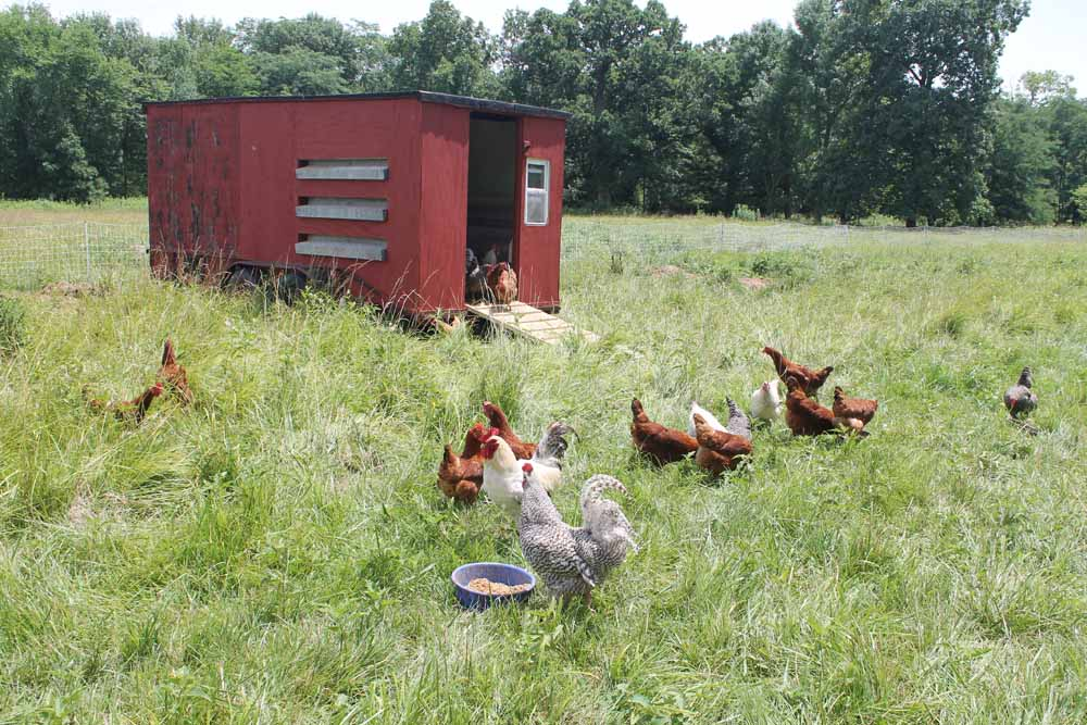 Hens near chicken coop