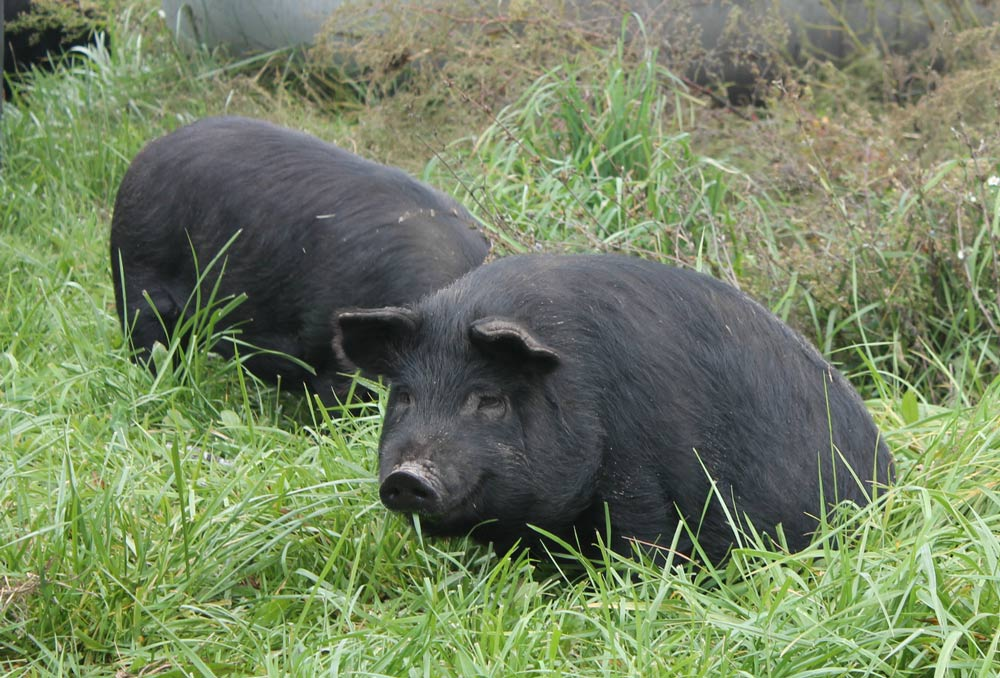 pigs-in-grass