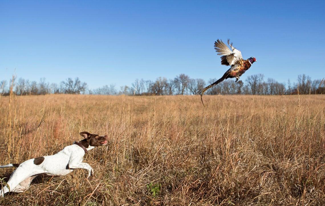 hunting dog chasing flying pheasant