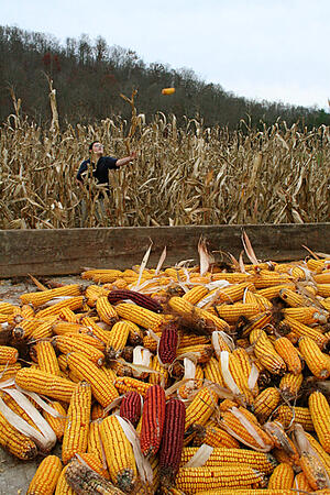 child throwing shucked corn into pile from corn field
