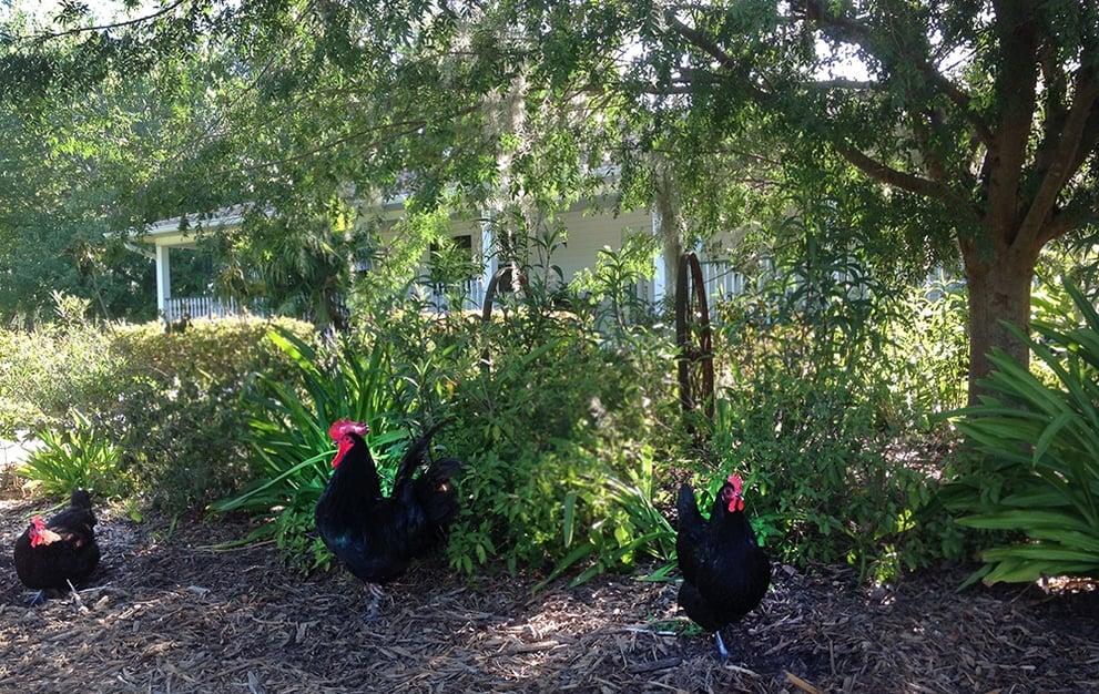 Chickens Bradford County FL