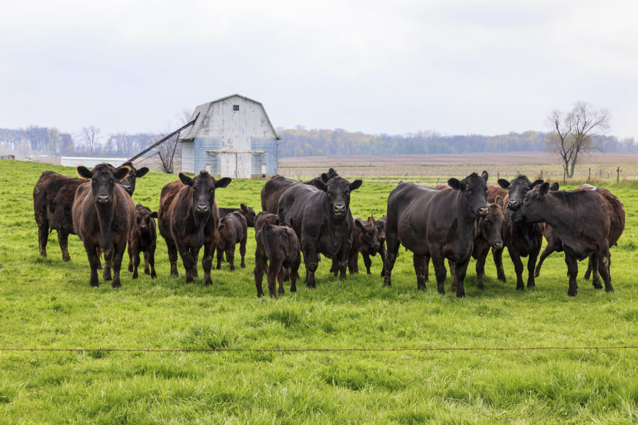 900_Black_Angus_Cattle.jpg