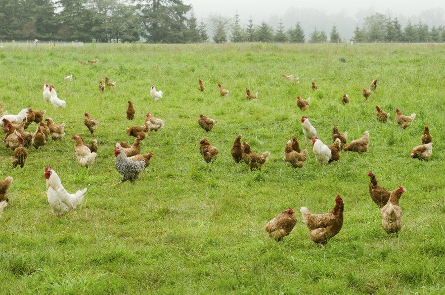 Hens free range in grass field