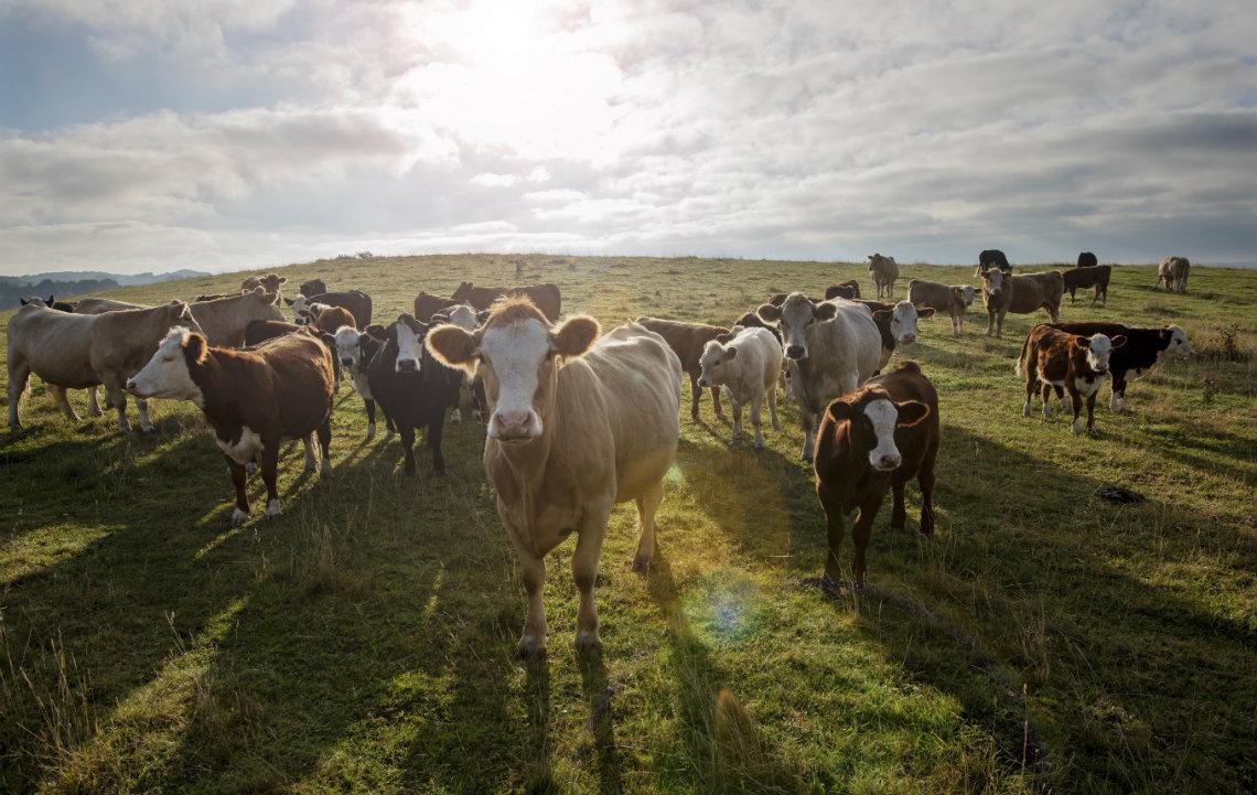 Lead_Cattle_on_Acreage.jpg