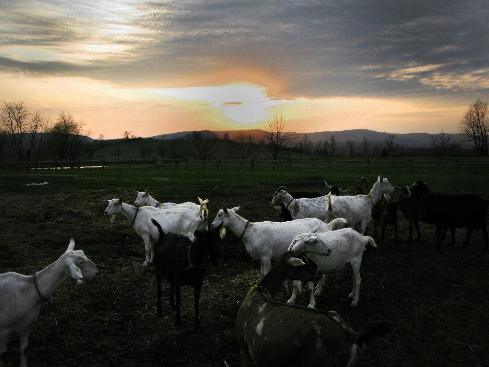 1_Beekman_boys_goats.jpg