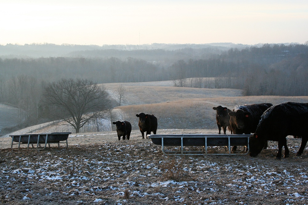 Cattle Lowing at Christmas in the Country.jpg