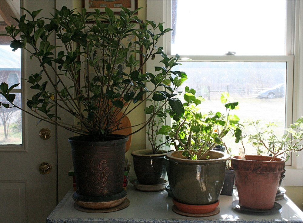 Keeping plants indoors in the cold.jpg