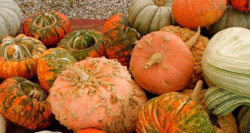 Jarrahdale_Pumpkin_and_other_heritage_kinds.jpg