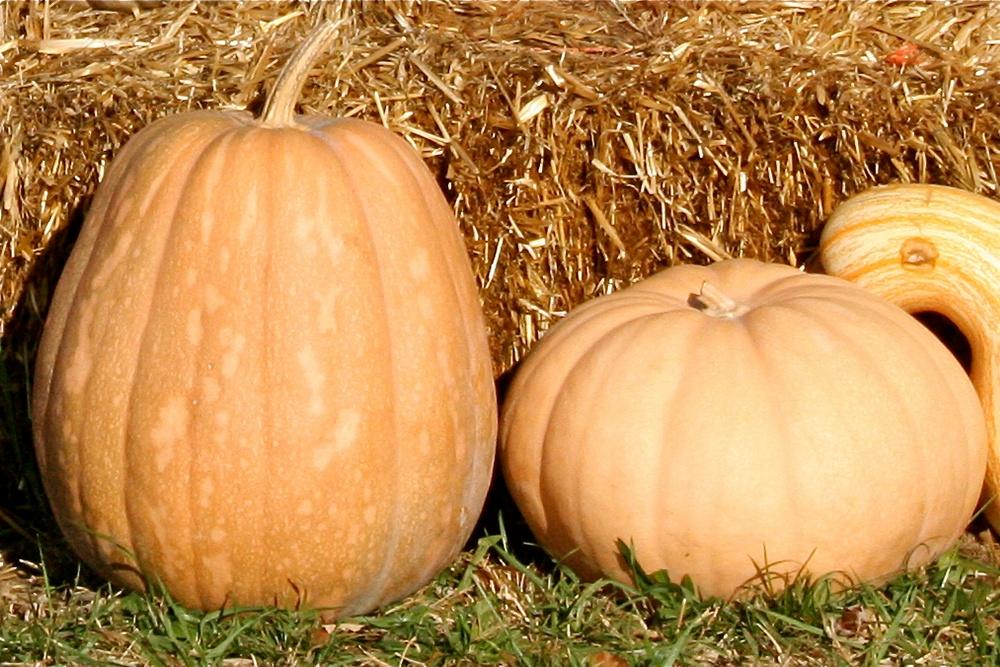 Long_Island_Cheese_and_Kentucky_Field_Pumpkins.jpg