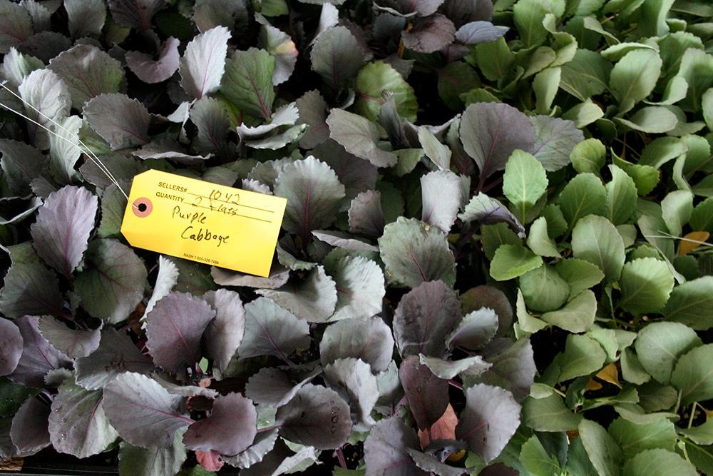 Spring Garden Cabbage.jpg