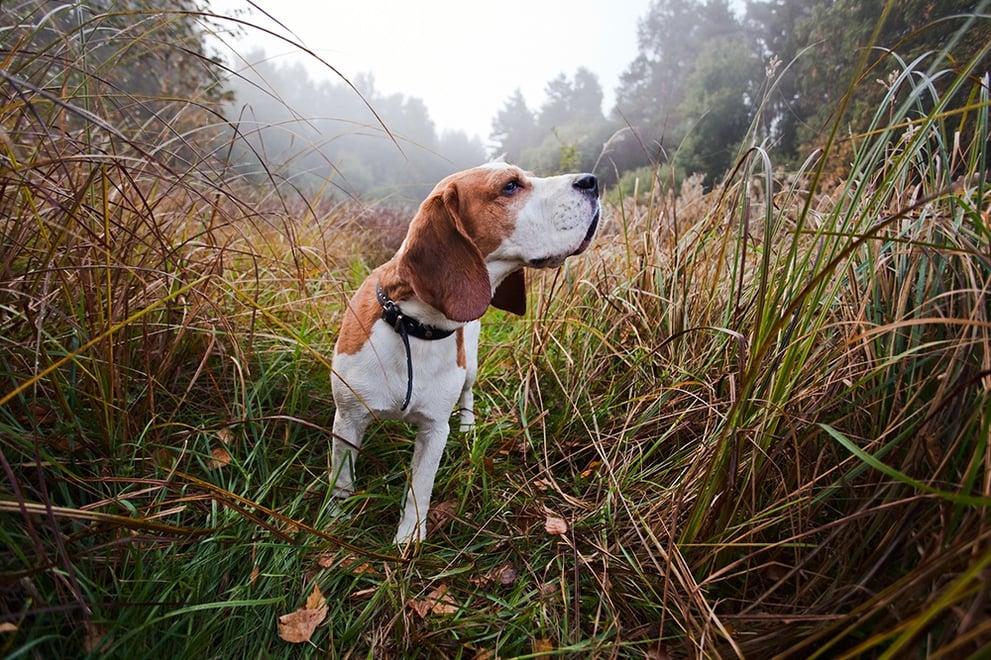 Beagle Hunting.jpg