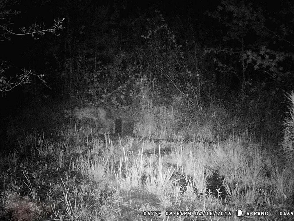 Rare Animal Siting on Trail Cam.jpg