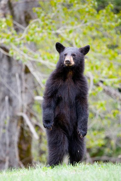 Bear_on_Hind_Legs.jpg