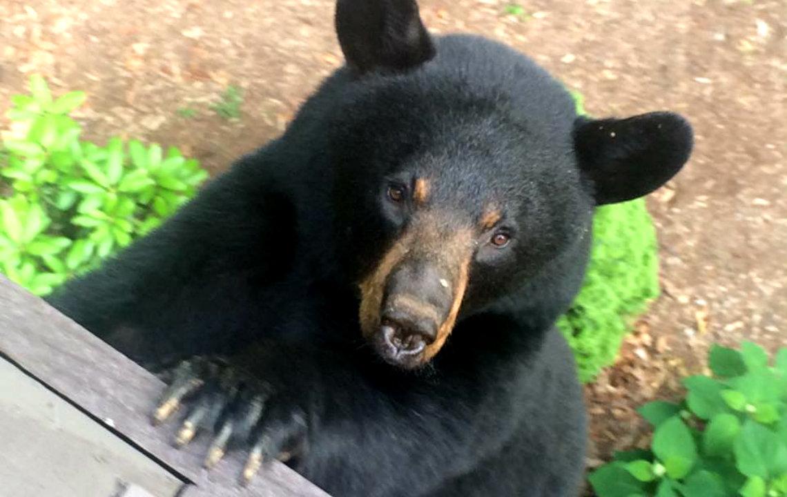 Black_Bear_Near_Country_Land.jpg