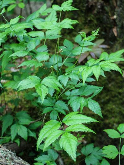Yellowroot_medicinal_herb_vertical.jpg