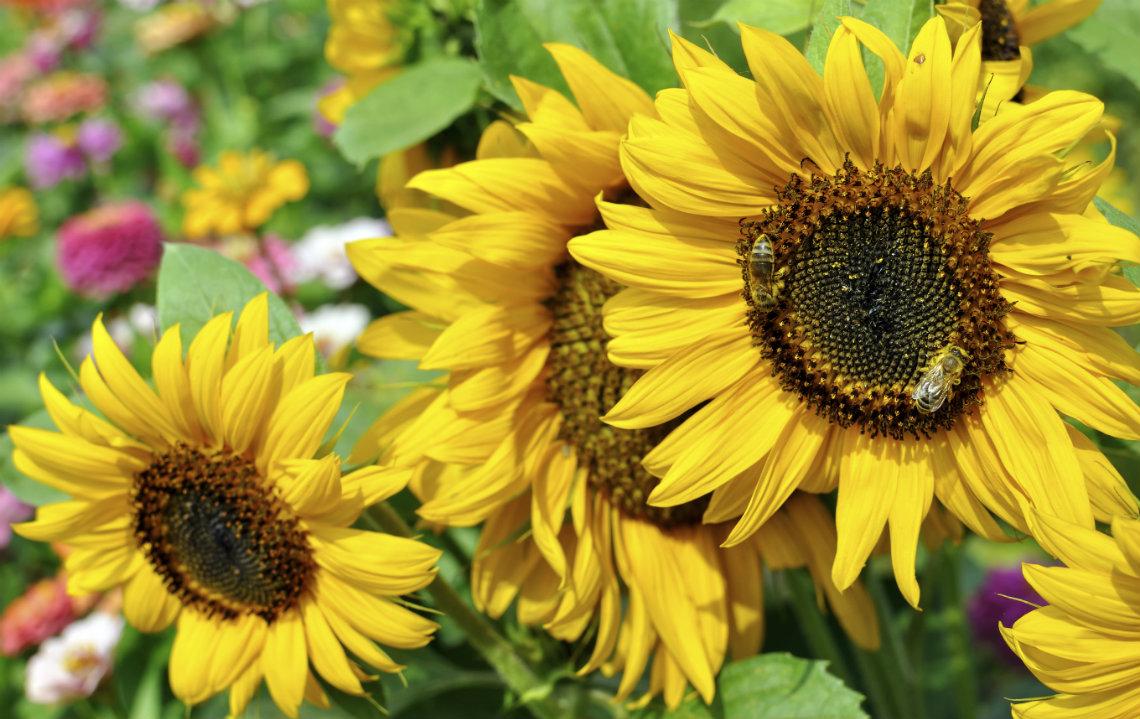 Pollinator_Garden_Sunflowers_Bees