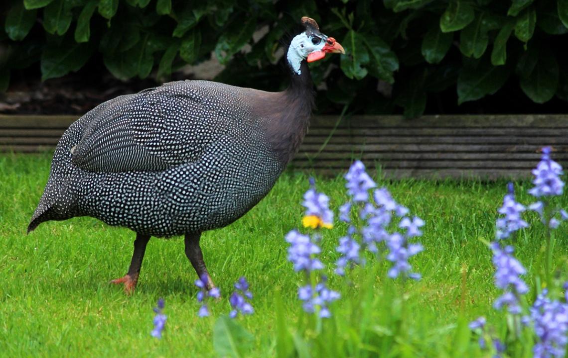 Guinea Fowl Repell Ticks.jpg