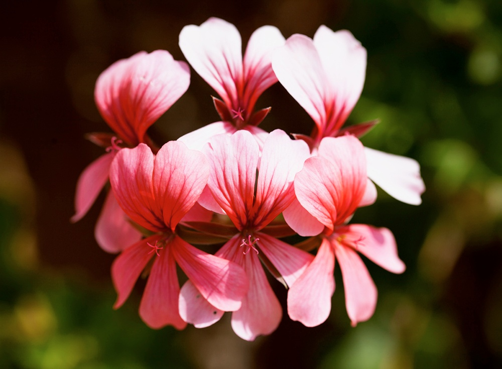 Rose Geranium.jpg