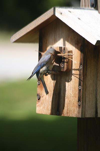Bird visiting backyard birdhouse.jpg