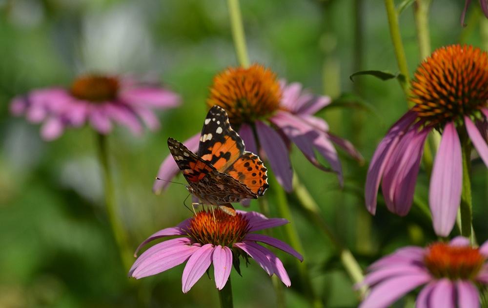 Butterfly On Purple Coneflower.jpg