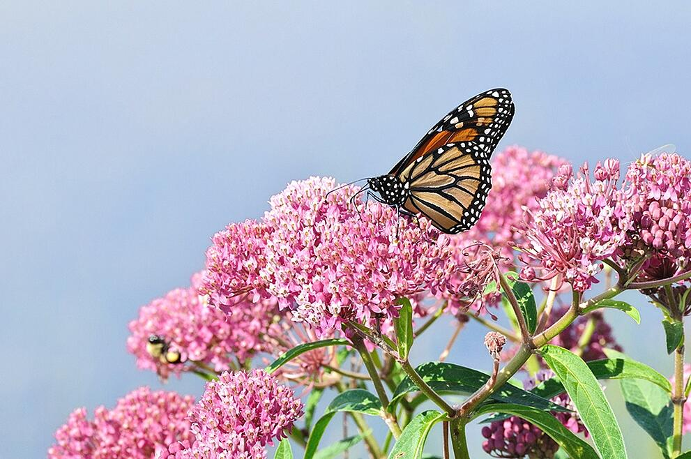 Butterfly on Milkweed.jpg