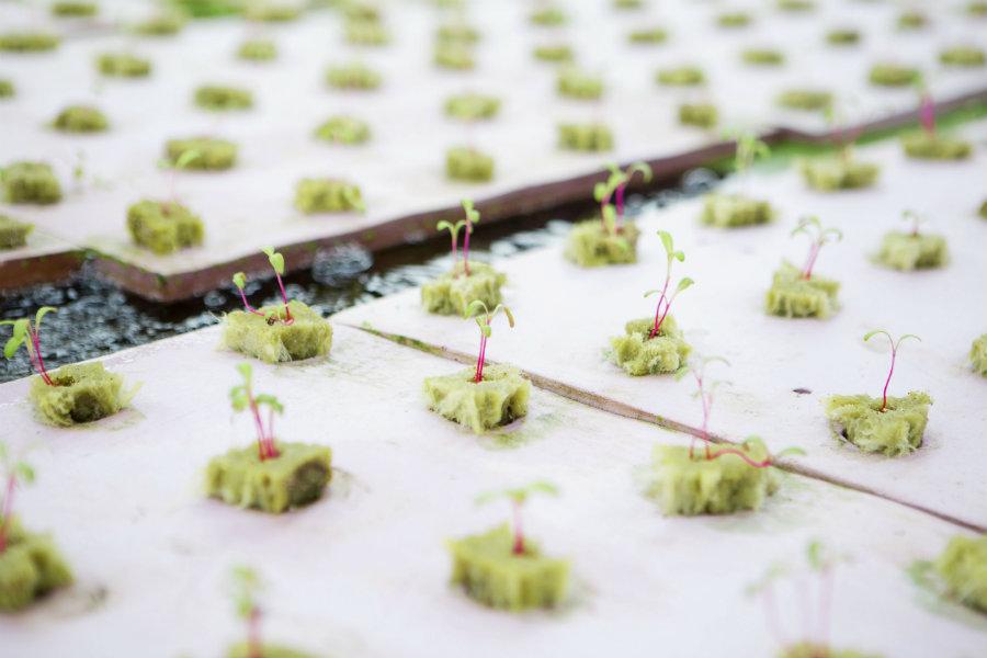 aquaponics seedlings