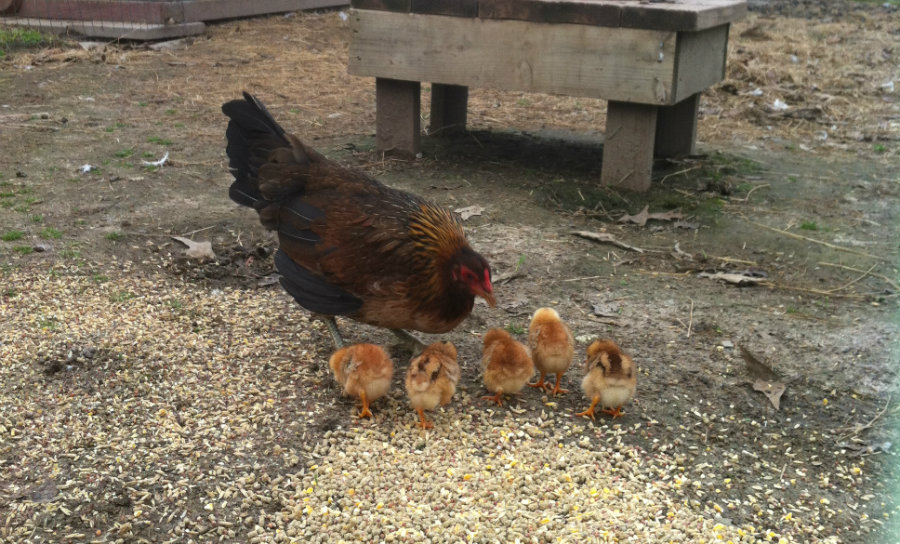 Hobby_Farm_Chickens.jpg