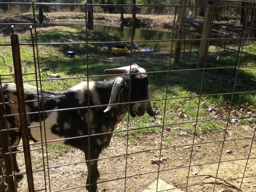 Hobby_Farm_Goat.jpg