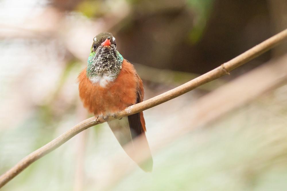 Buff Bellied Hummingbird Texas.jpg