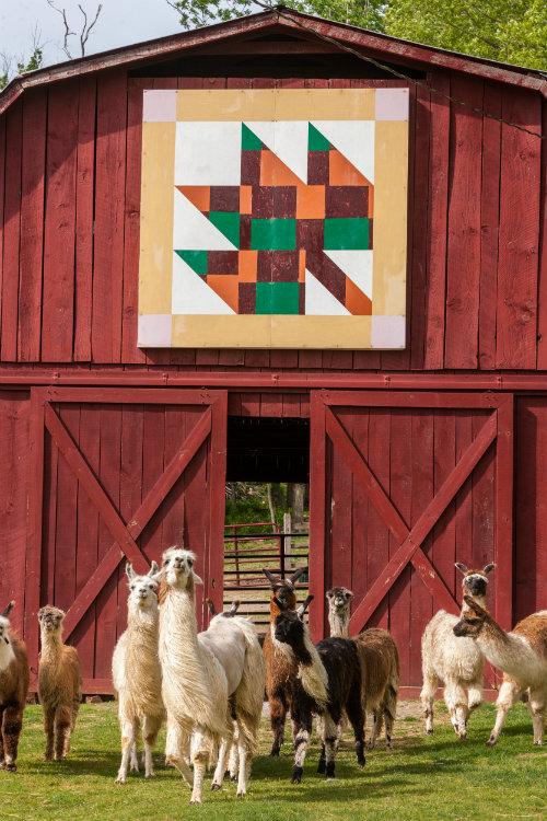 Quilt_barn_with_llamas.jpg